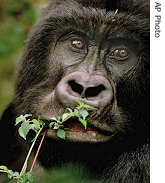 A mountain gorilla chews foliage in Virunga National Park in far eastern DRC