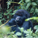 Congo gorilla in Virunga National Park