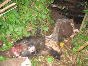 What the rangers least wanted to find, the remains of a gorilla retreived from a pit. © FZS.