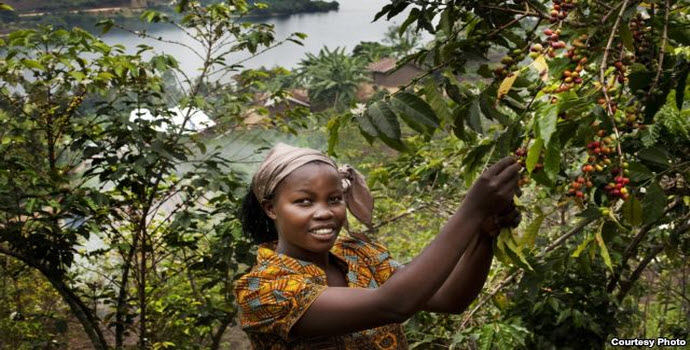 Bichera Ntamwinsa,23, picks berries from her coffee plants in Bukavu, Democratic Republic of the Congo. Farmer field schools and agricultural cooperatives can help smallholder farmers gain skills while strengthening their common voice. (UNESCO/Tim Dirven)