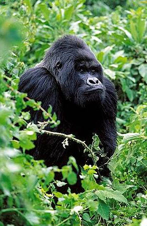 An adult male mountain gorilla in the Virunga Mountains, part of the Albertine Rift Ecoregion; WWF-EARPO